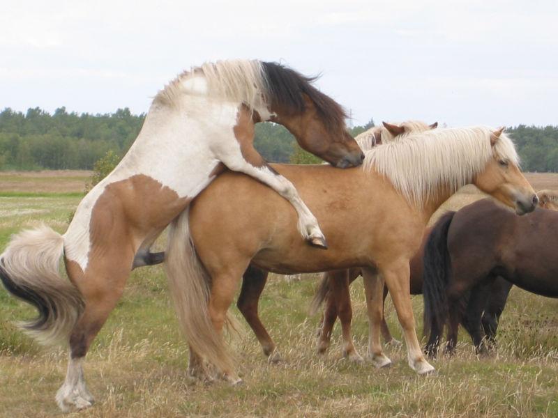 bedækket af hest